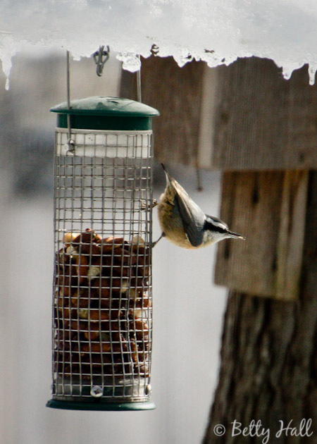 Red-breasted nuthatch at nut feeder