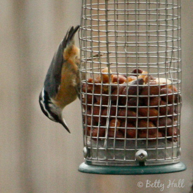 Close-up of red-breasted titmouse on nut feeder