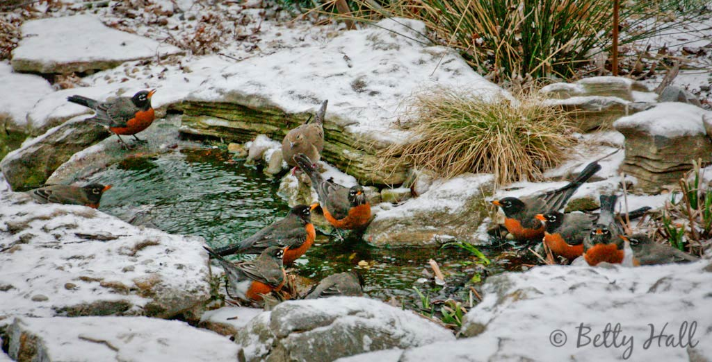 Robins drinking from water feature