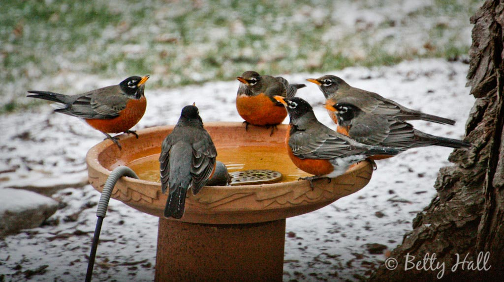 Six robins drinking at bird waterer on snowy morning