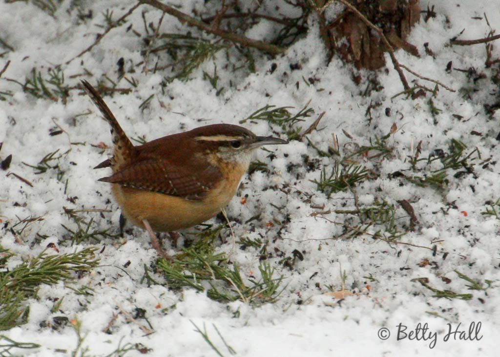 Carolina wren on ground