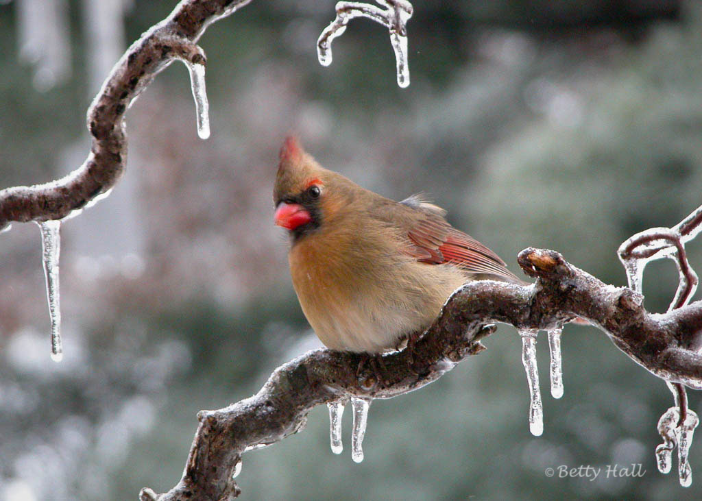 female northern cardinal on icy branch