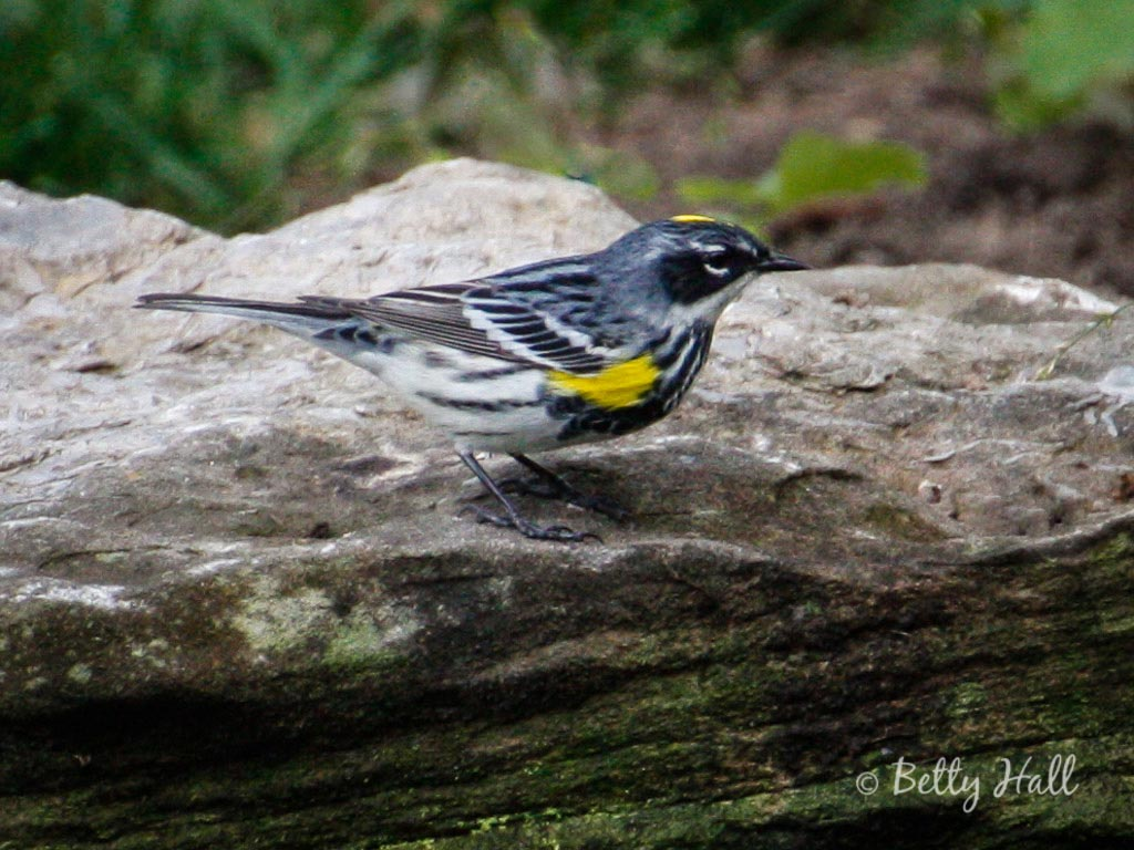male yellow-rumped warbler in striking spring plumage