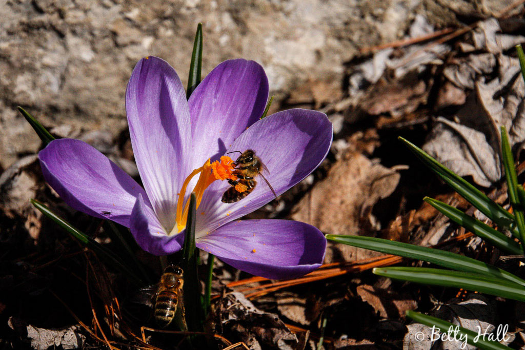 crocus and two honeybees