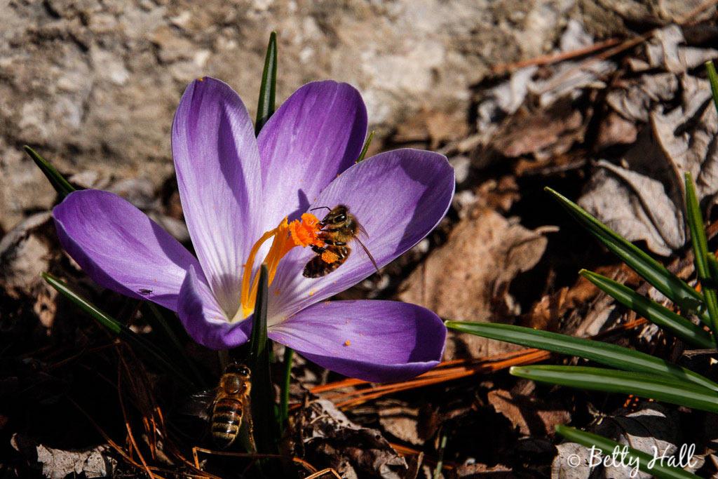 crocus and two honeybees