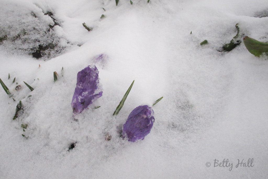 crocus and snow