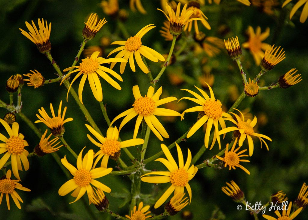 Golden-ragwort-blossoms-close-up