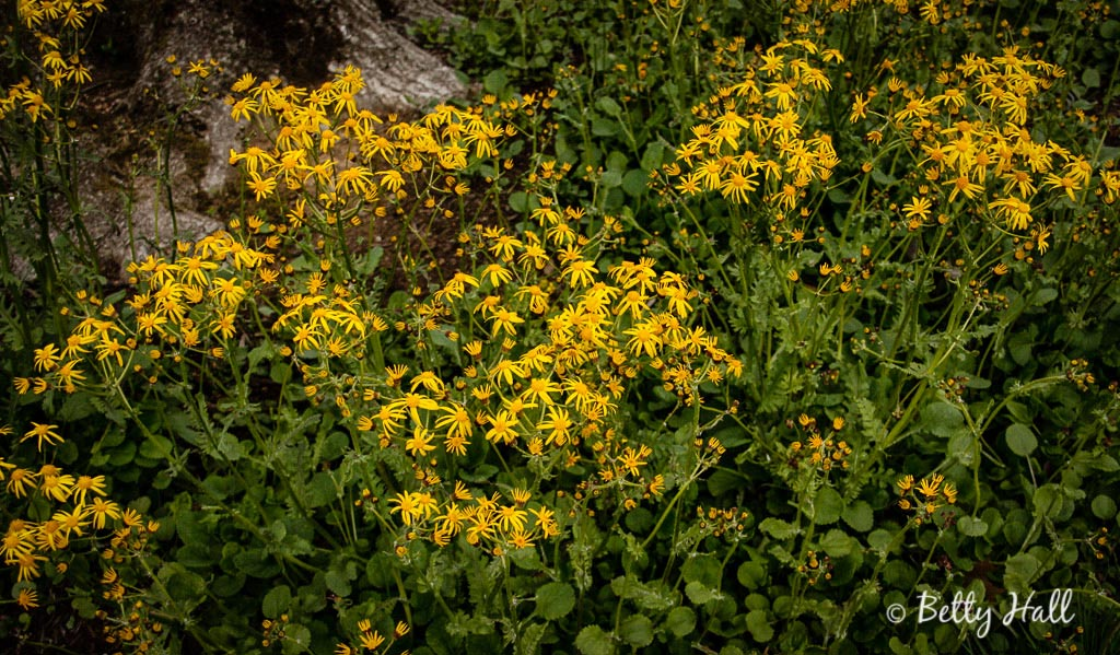 golden-ragwort-blossoms