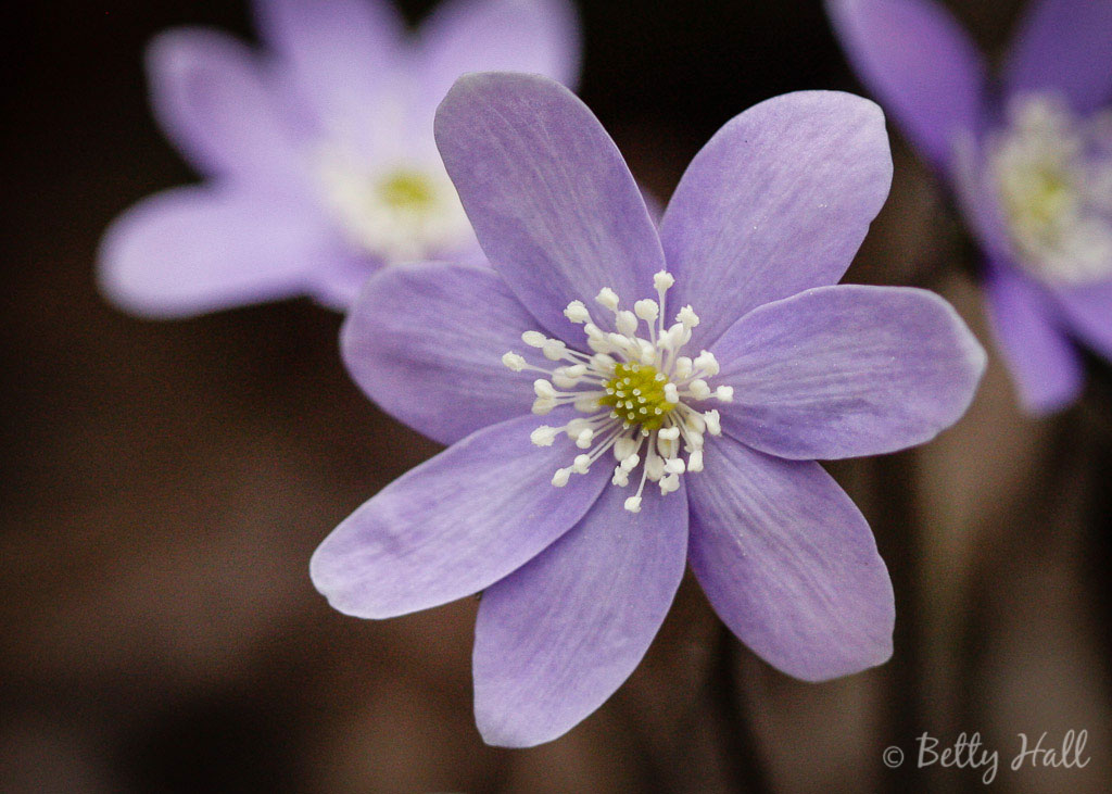 Hepatica blossom close-up