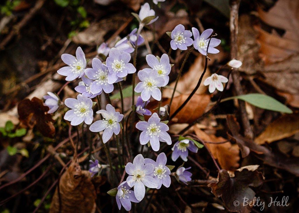 Hepatica blossoms