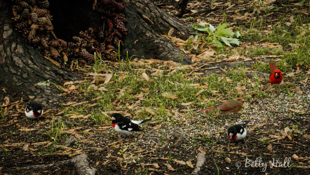 3-male rose breasted-grosbeaks