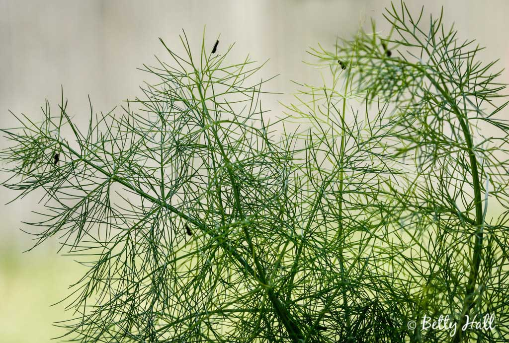 Fennel with tiny black swallowtail caterpillars