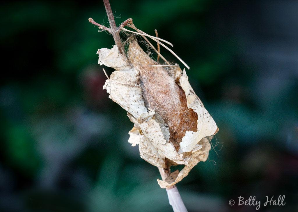Cecropia-moth-cocoon
