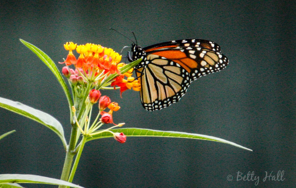 My first monarch photographed this year