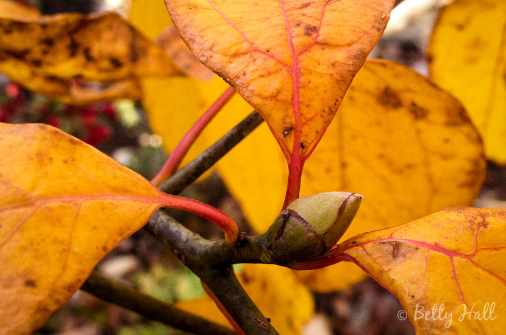 Close-up of Sassafras Bud and Leaf Veins