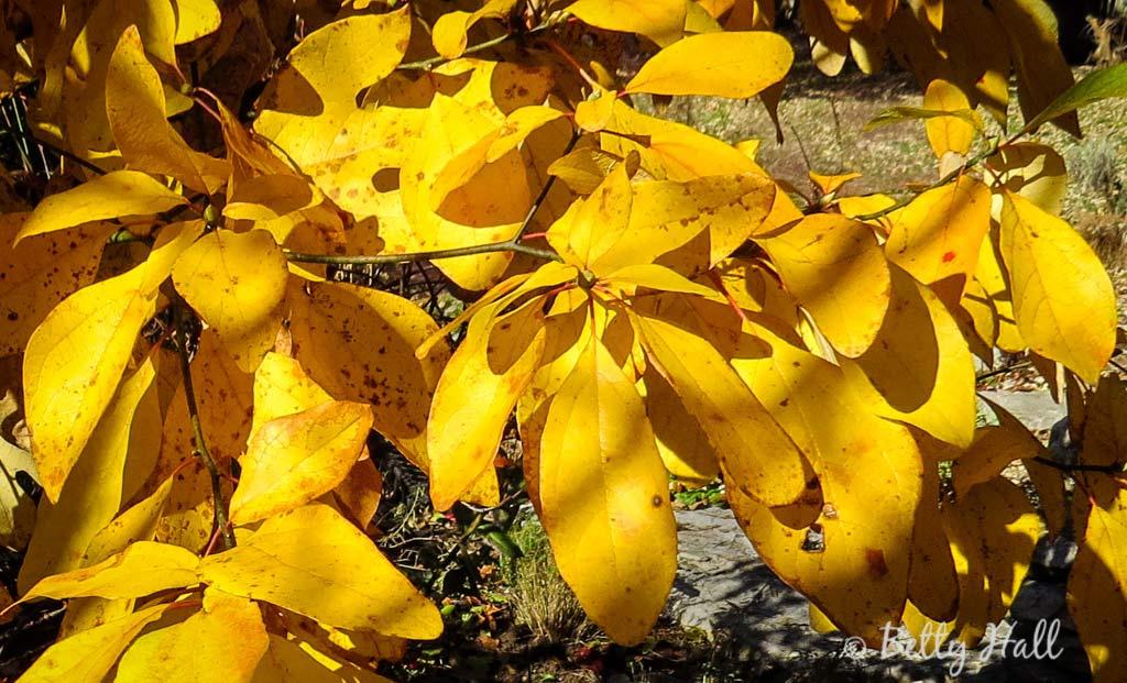 Sassafras Leaves