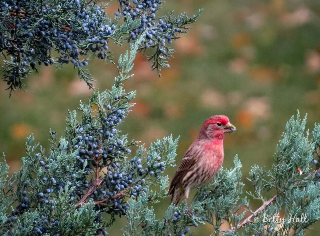 House finch and juniper berries