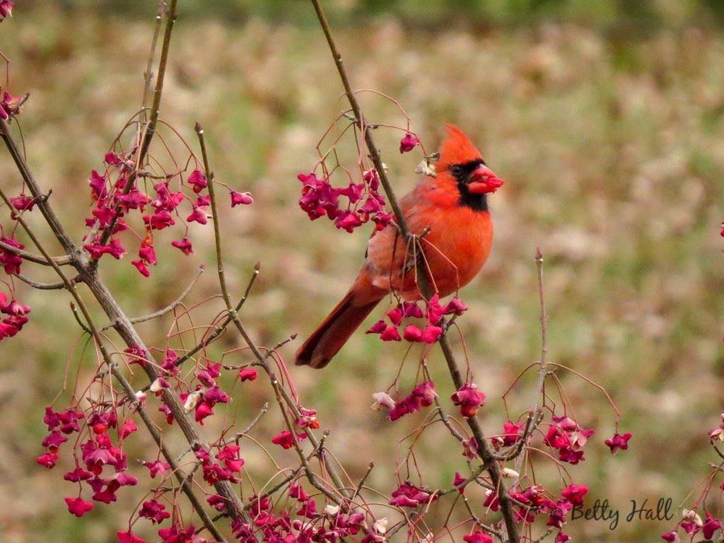 Cardinal eating wahoo seedpods