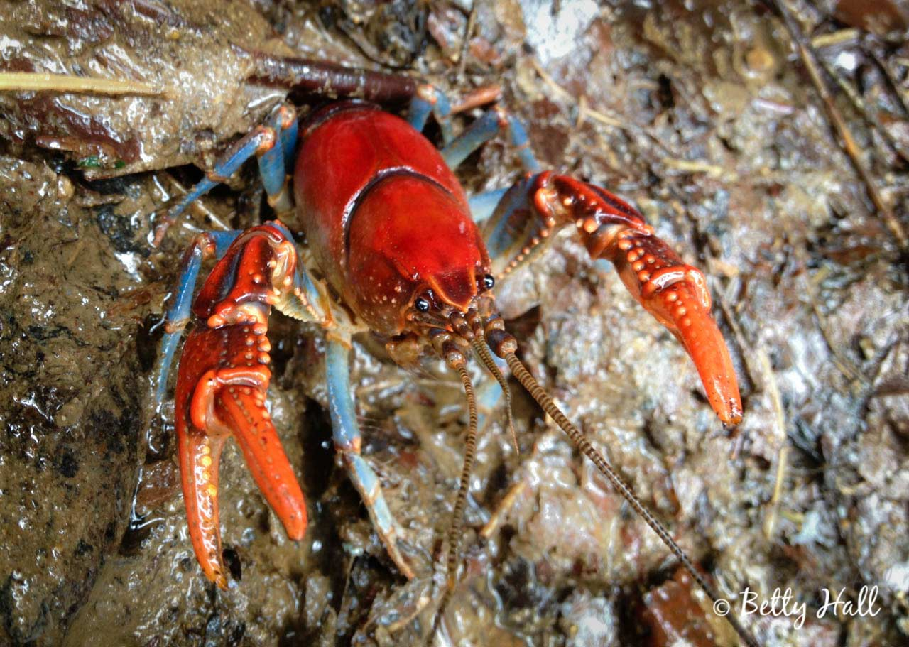 crawdad aka crayfish