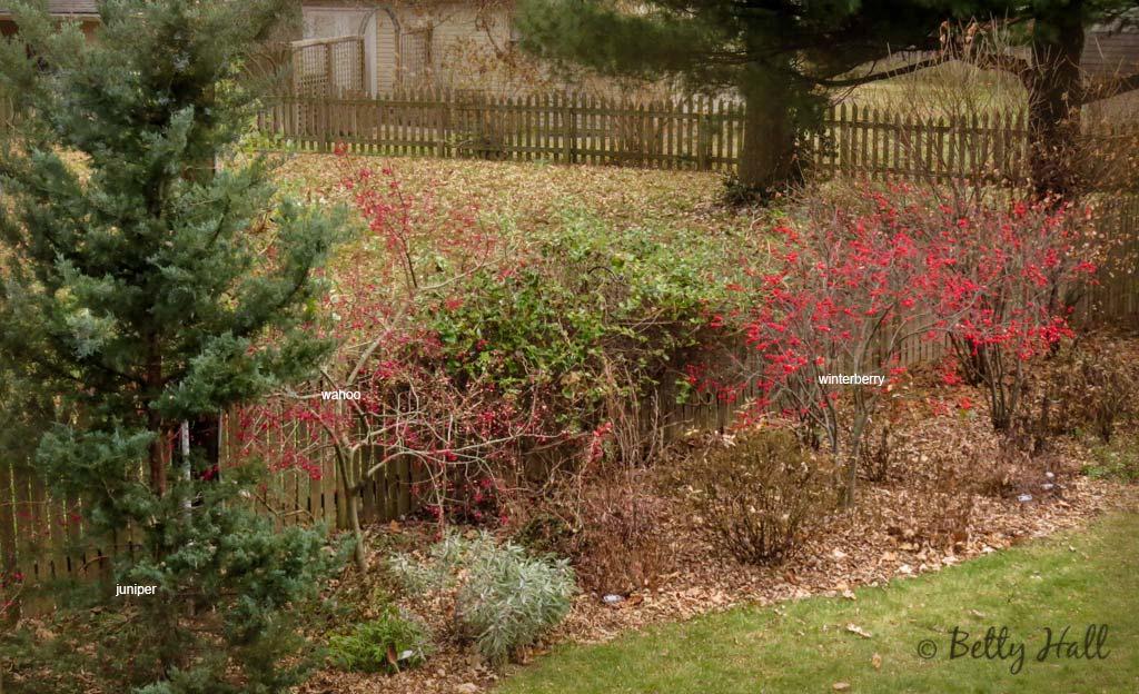 Cedar - wahoo and winterberry shubs
