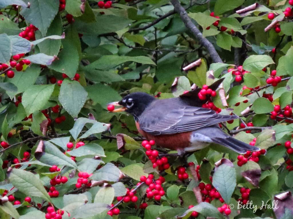 Robin eating winterberry
