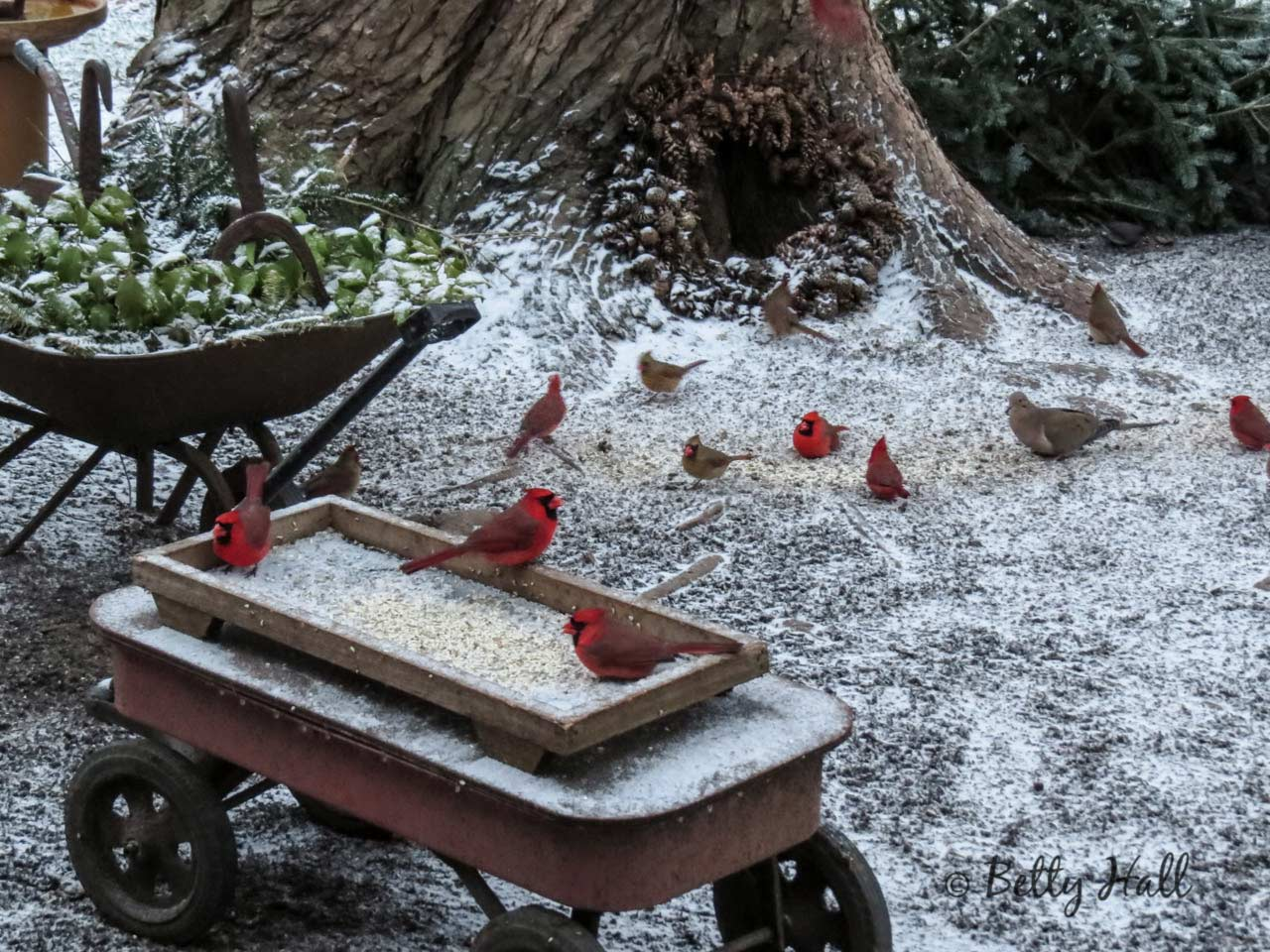 Backyard Cardinals and Snow