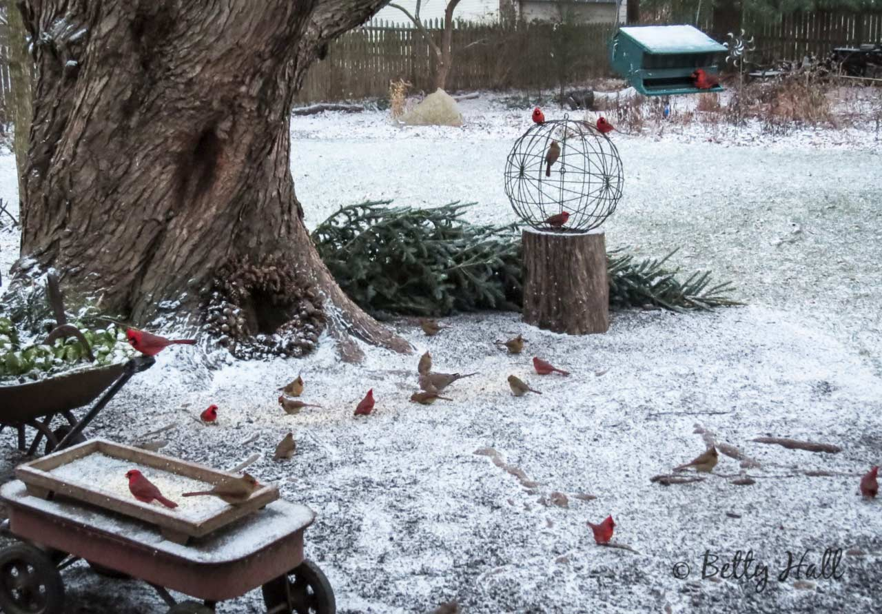More Backyard Cardinals and Snow