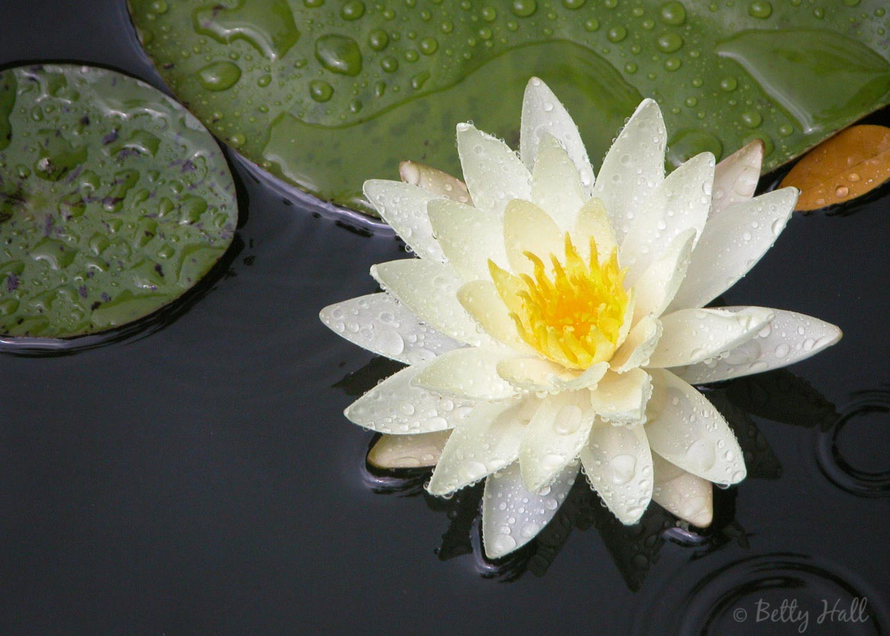 Water lily and raindrops