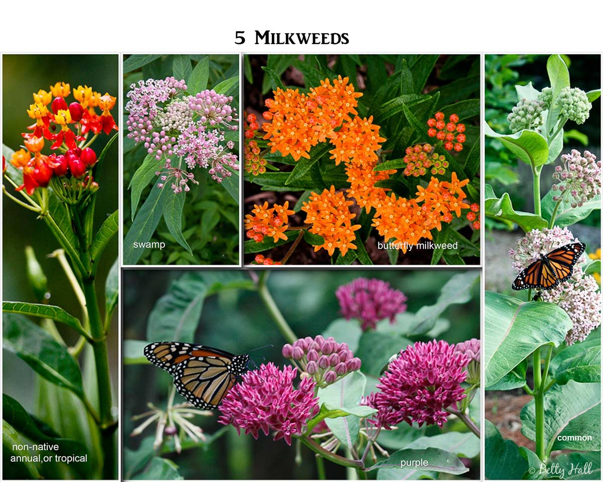 5 Milkweed Collage