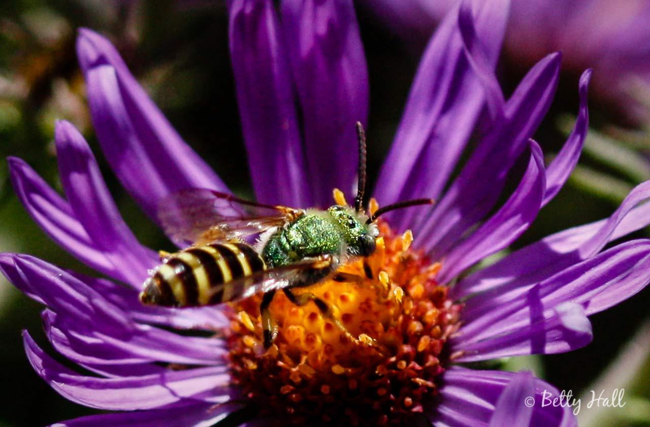 Bi-colored sweat bee