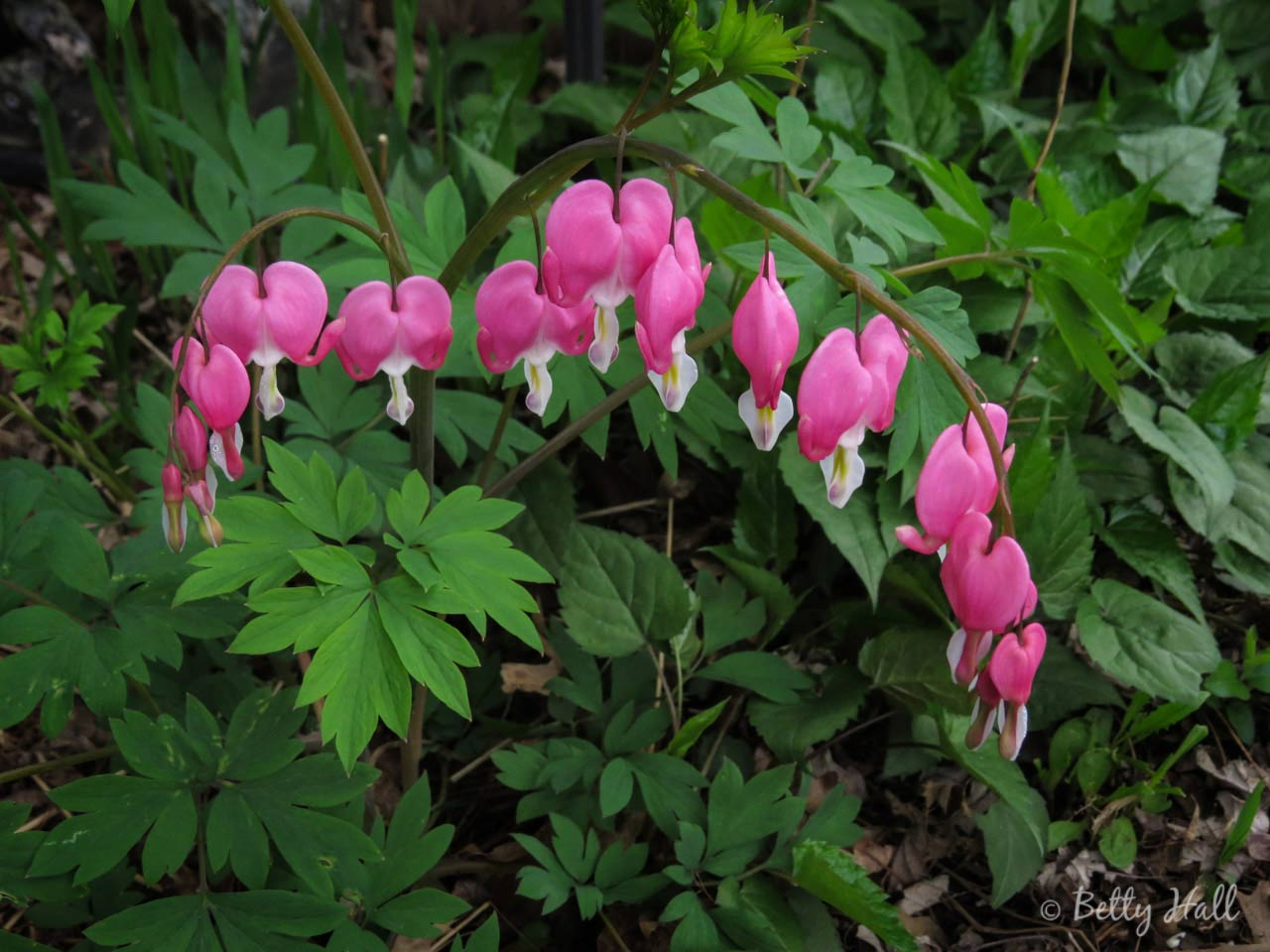 Non-native Bleeding Heart flowers