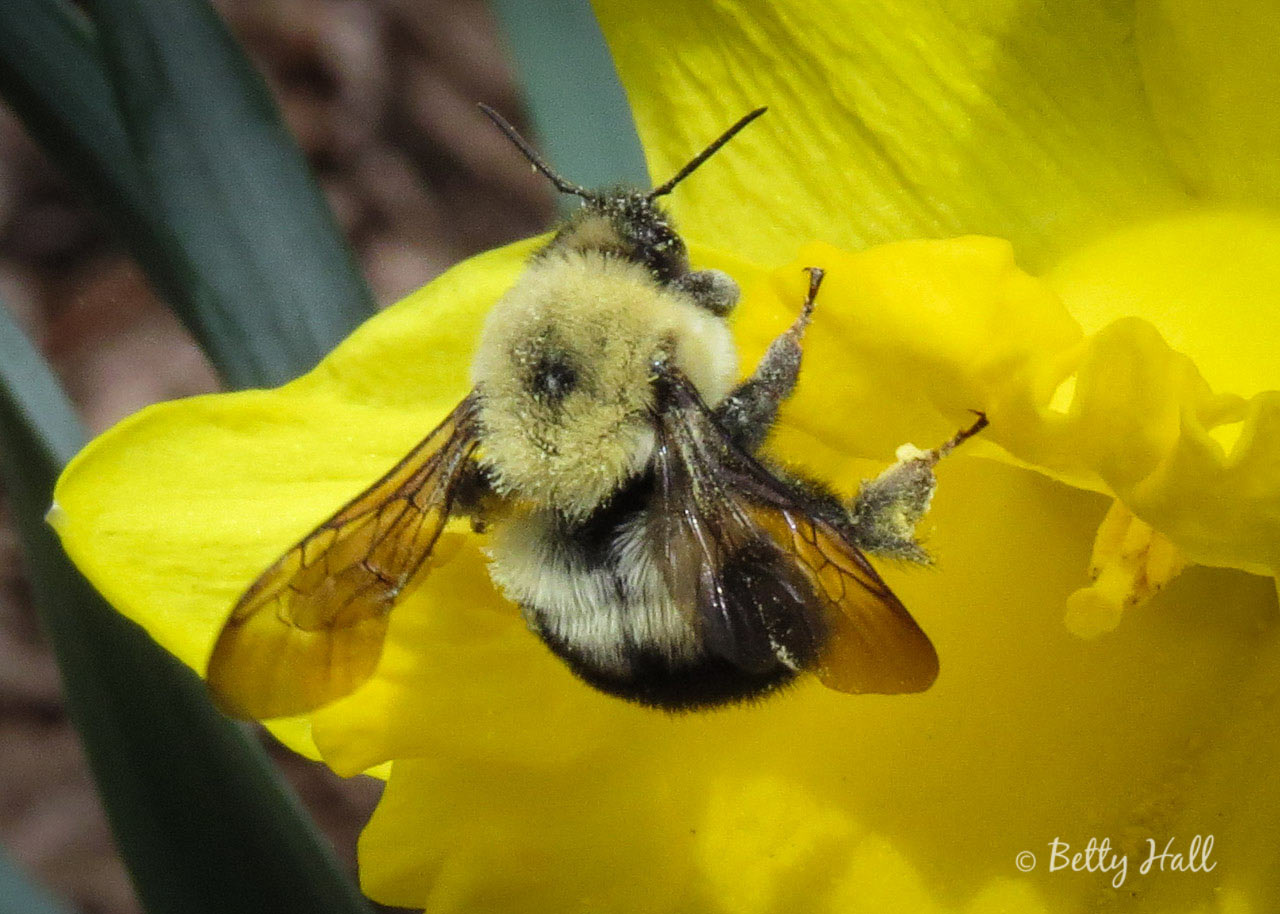 Two-spotted Bumble Bee View of Abdomen