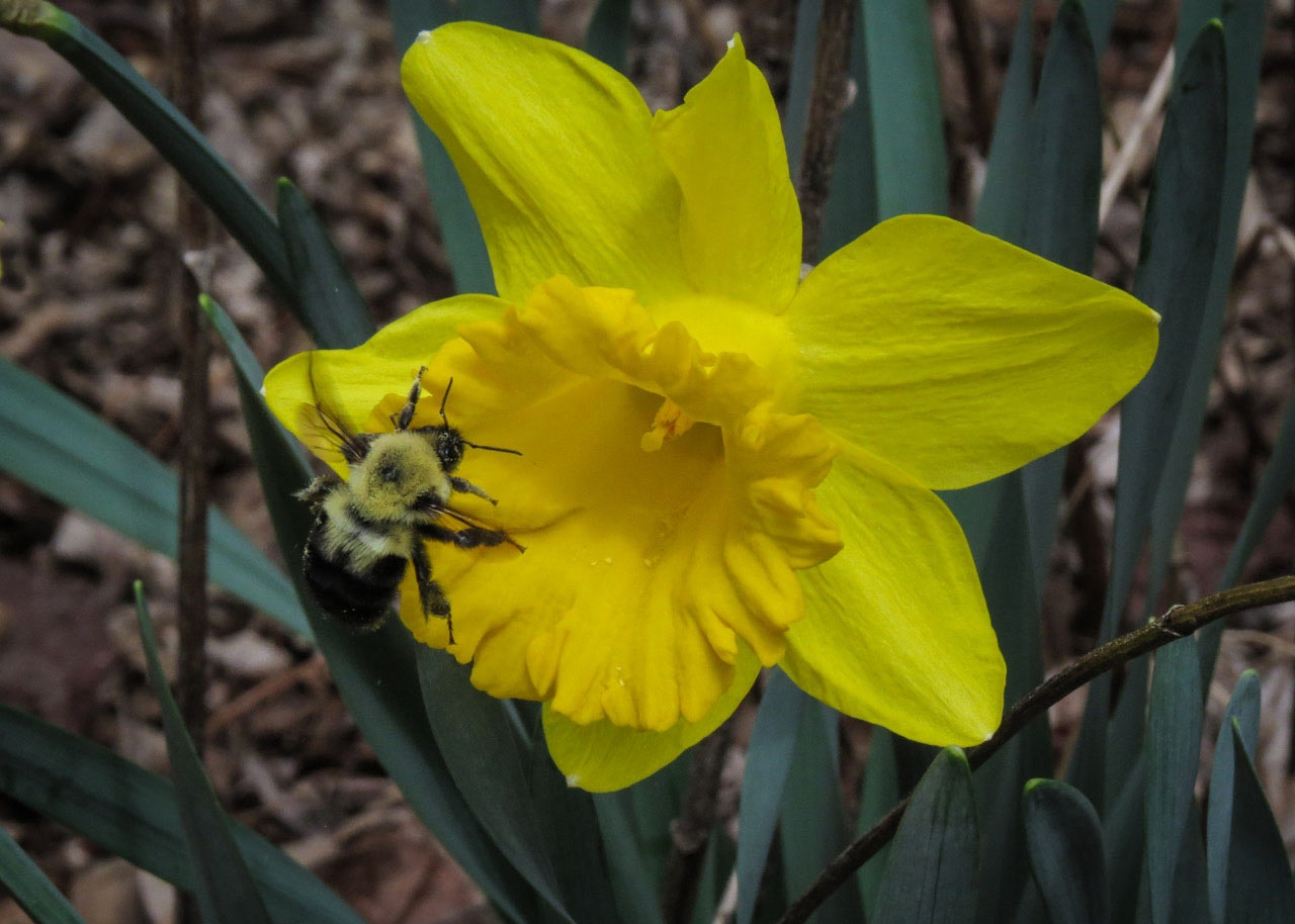 Two-spotted Bumble Bee Visiting a Daffodil