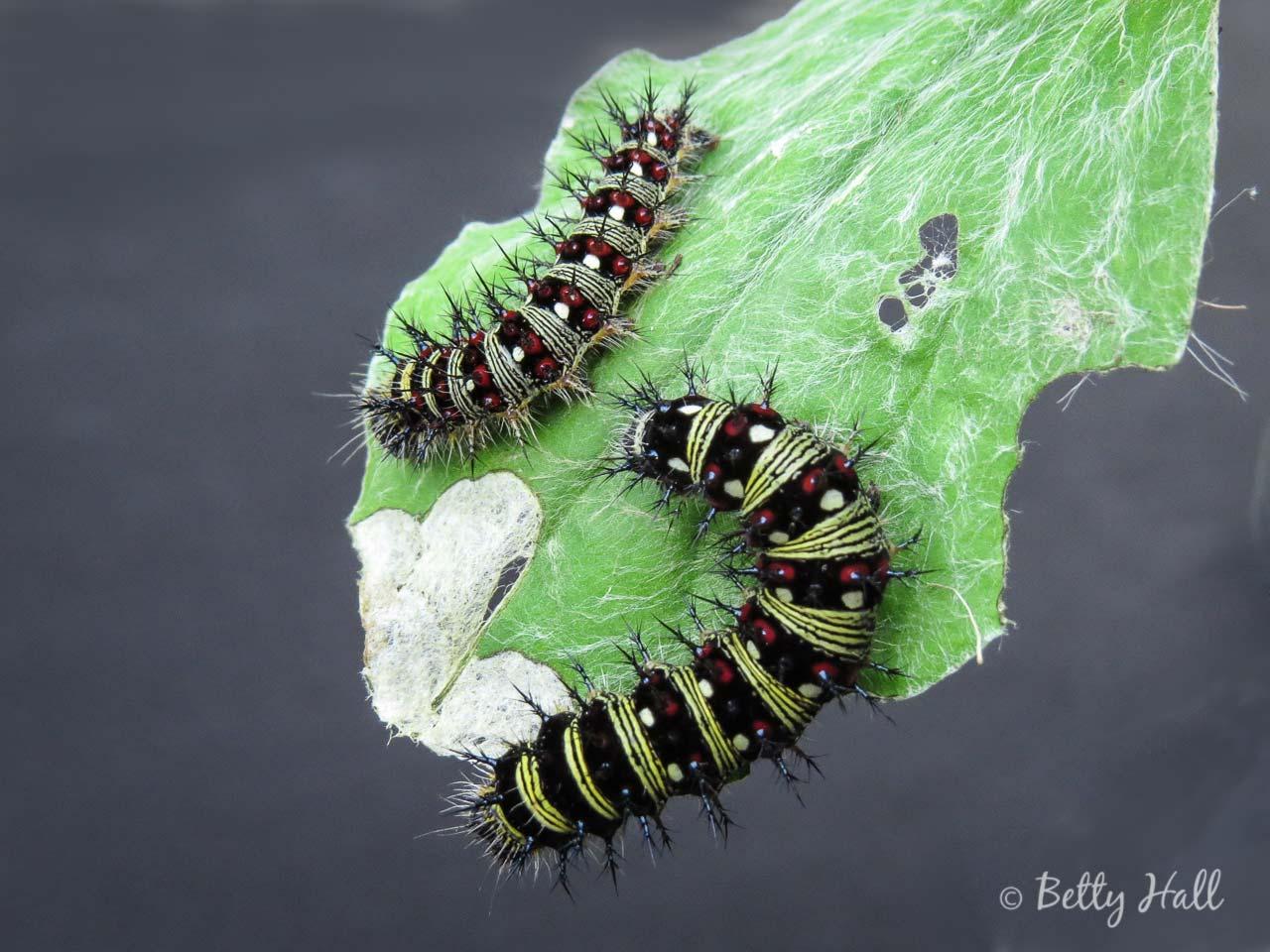 American Lady caterpillarsillars