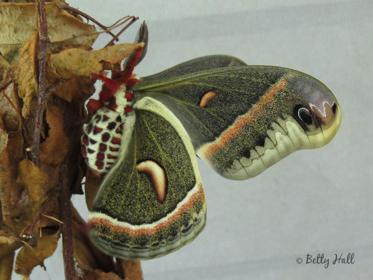 Cecropia moth - underside of wingopia-moth-underside-of-wing