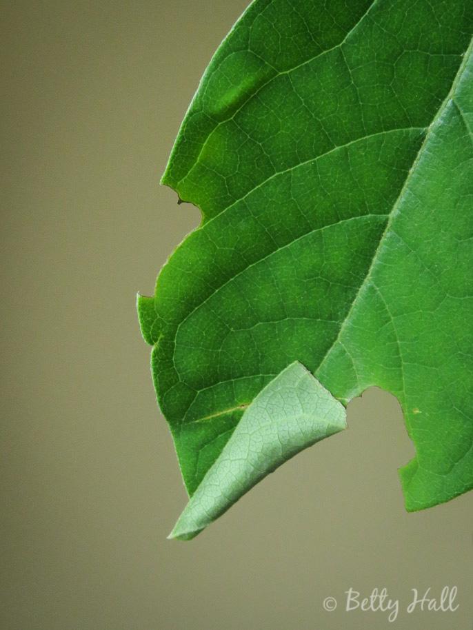 Spicebush leaf  with hidden caterpillarspicebush-leaf-indicating-a-caterpillar