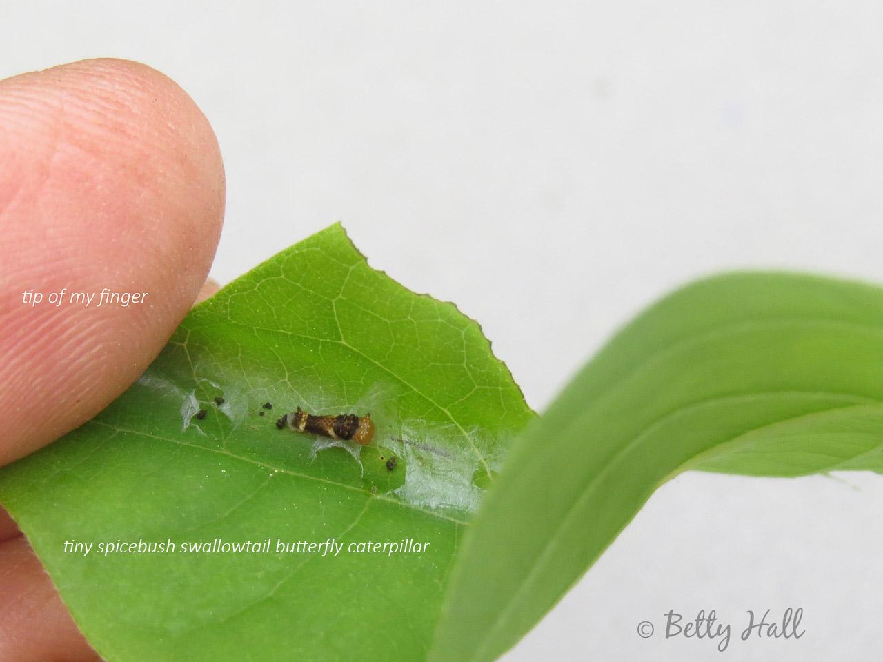 tiny spicebush swallowtail butterfly caterpillar