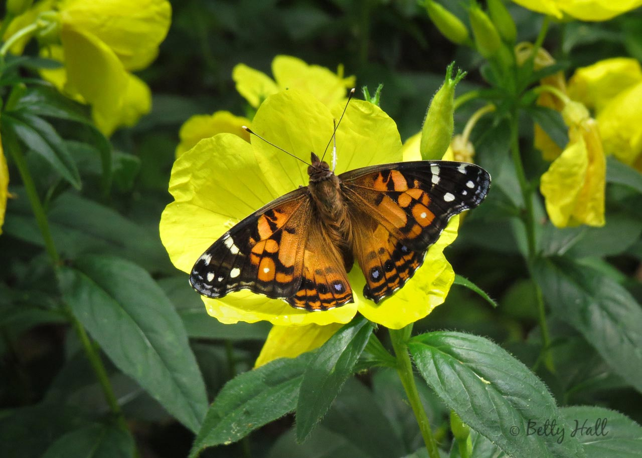 American Lady Butterfly above