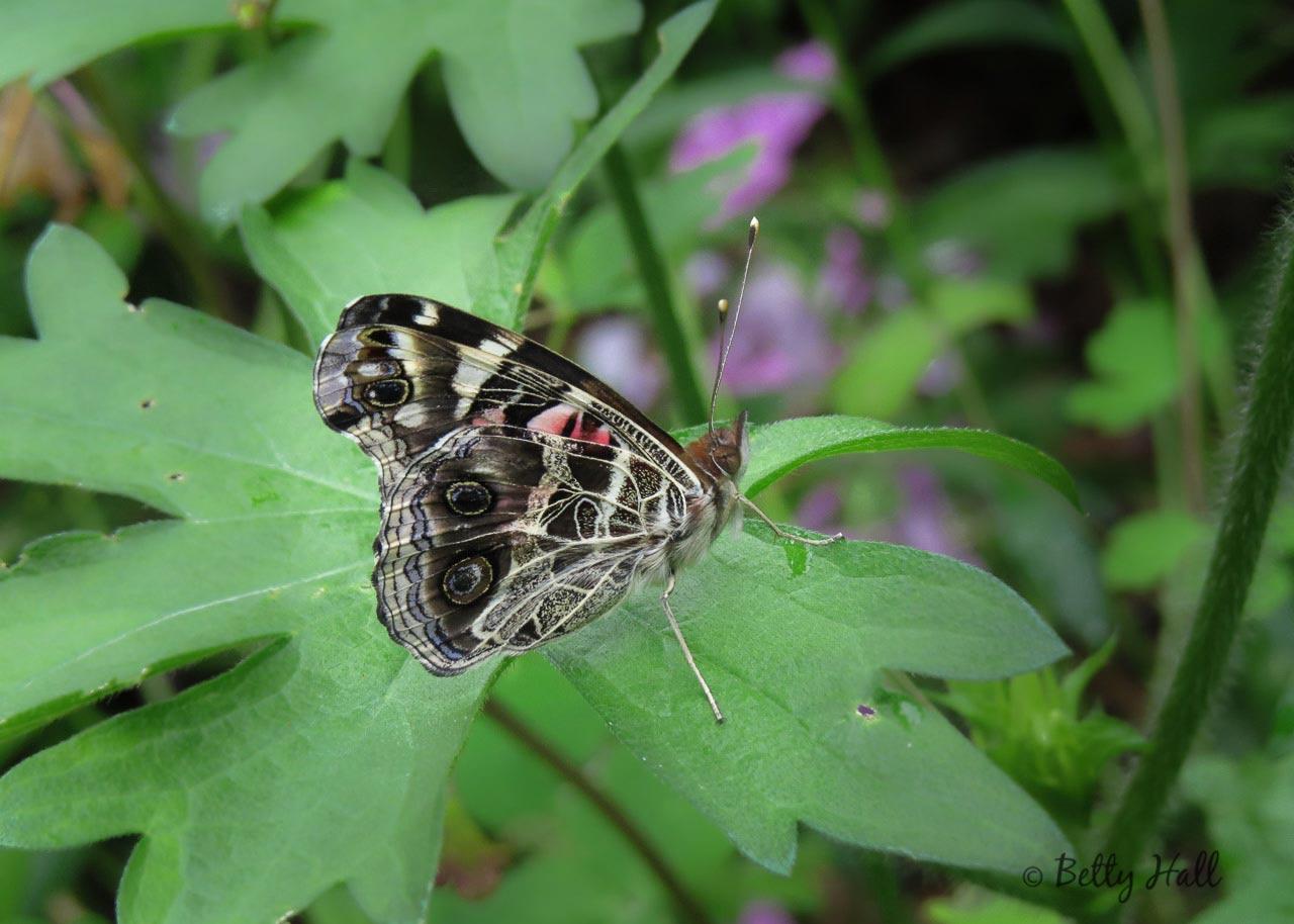 American Lady Butterfly below
