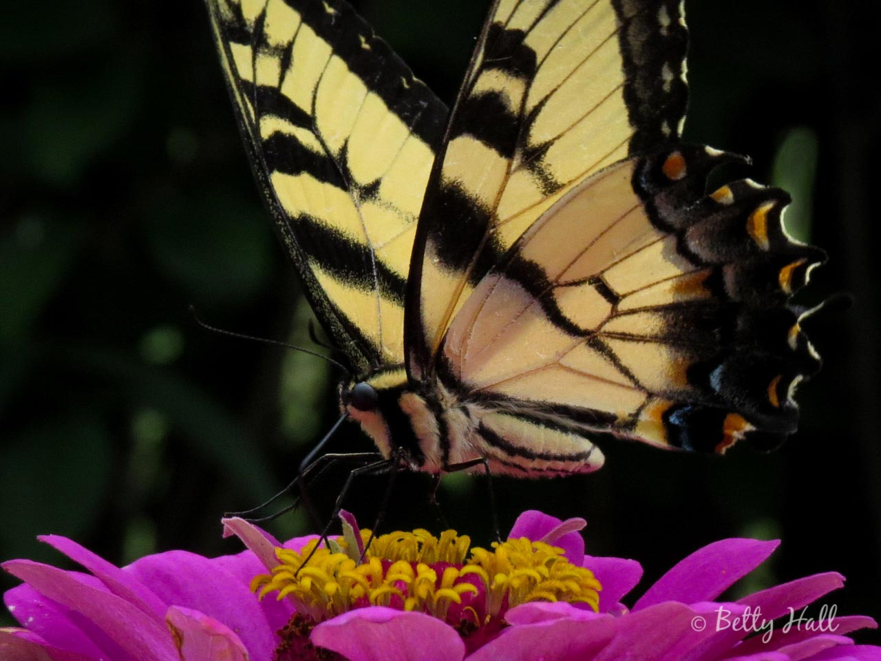 Eastern Tiger Swllowtail butterfly on Zinniatiger-swallowtail-butterfly-on-zinnia