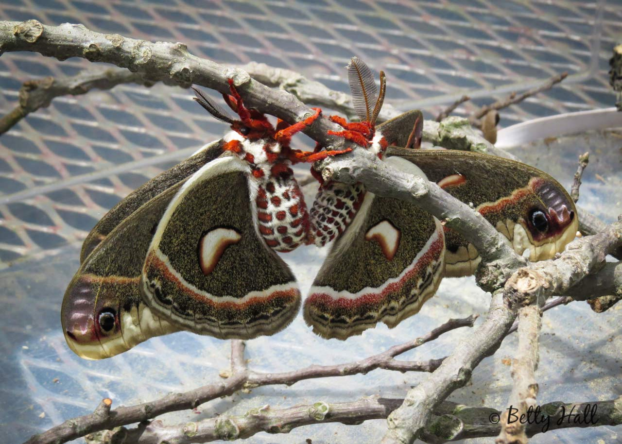 Cecropia moths mating