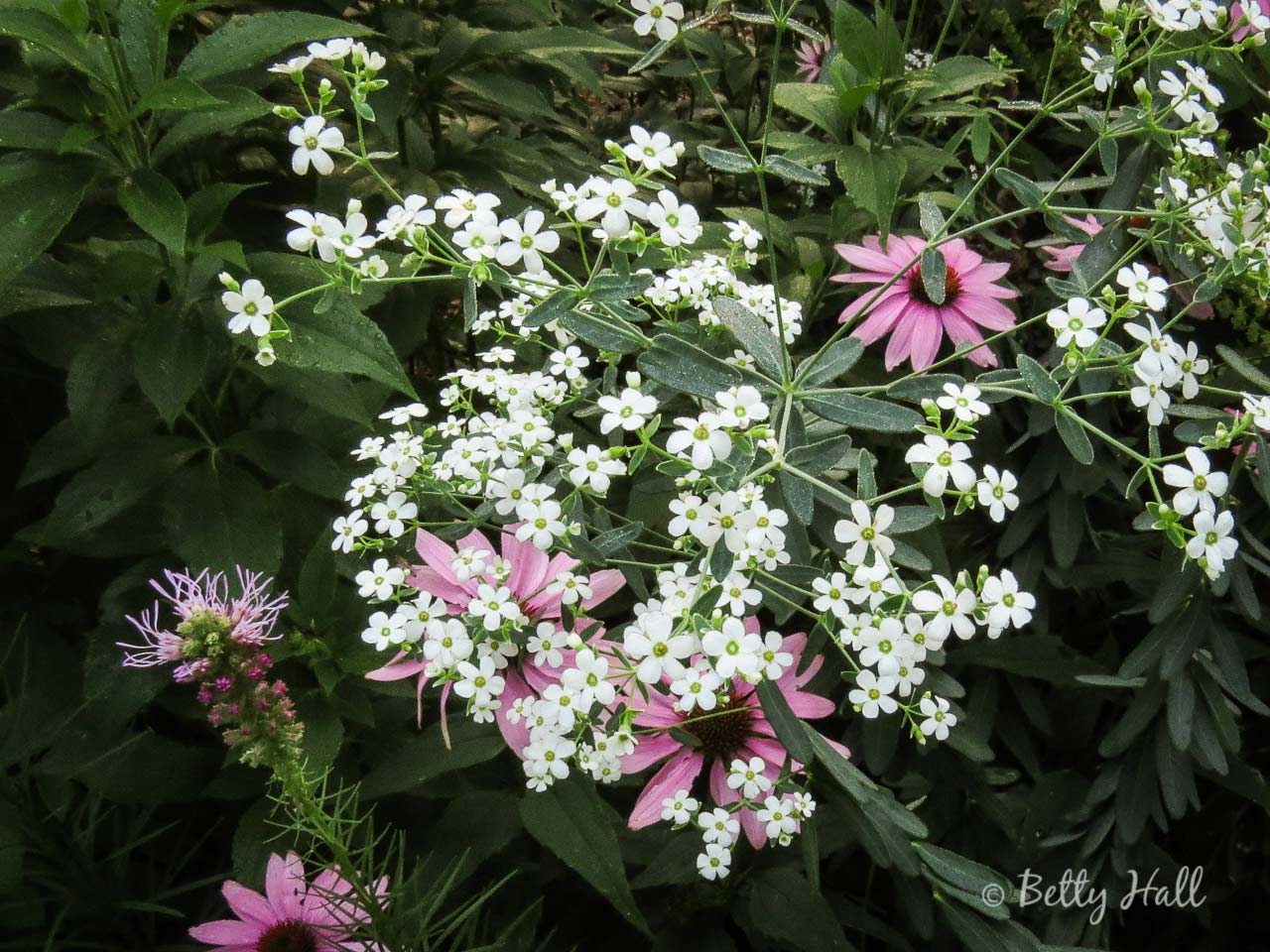 Flowering Spurge and Purple Coneflowers