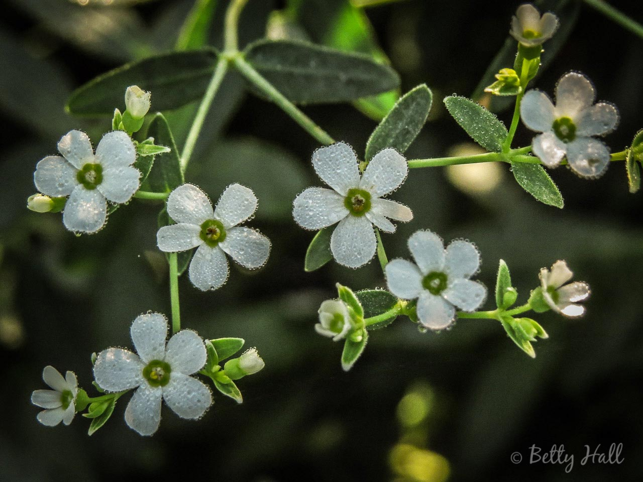 Flowering Spurge with dew