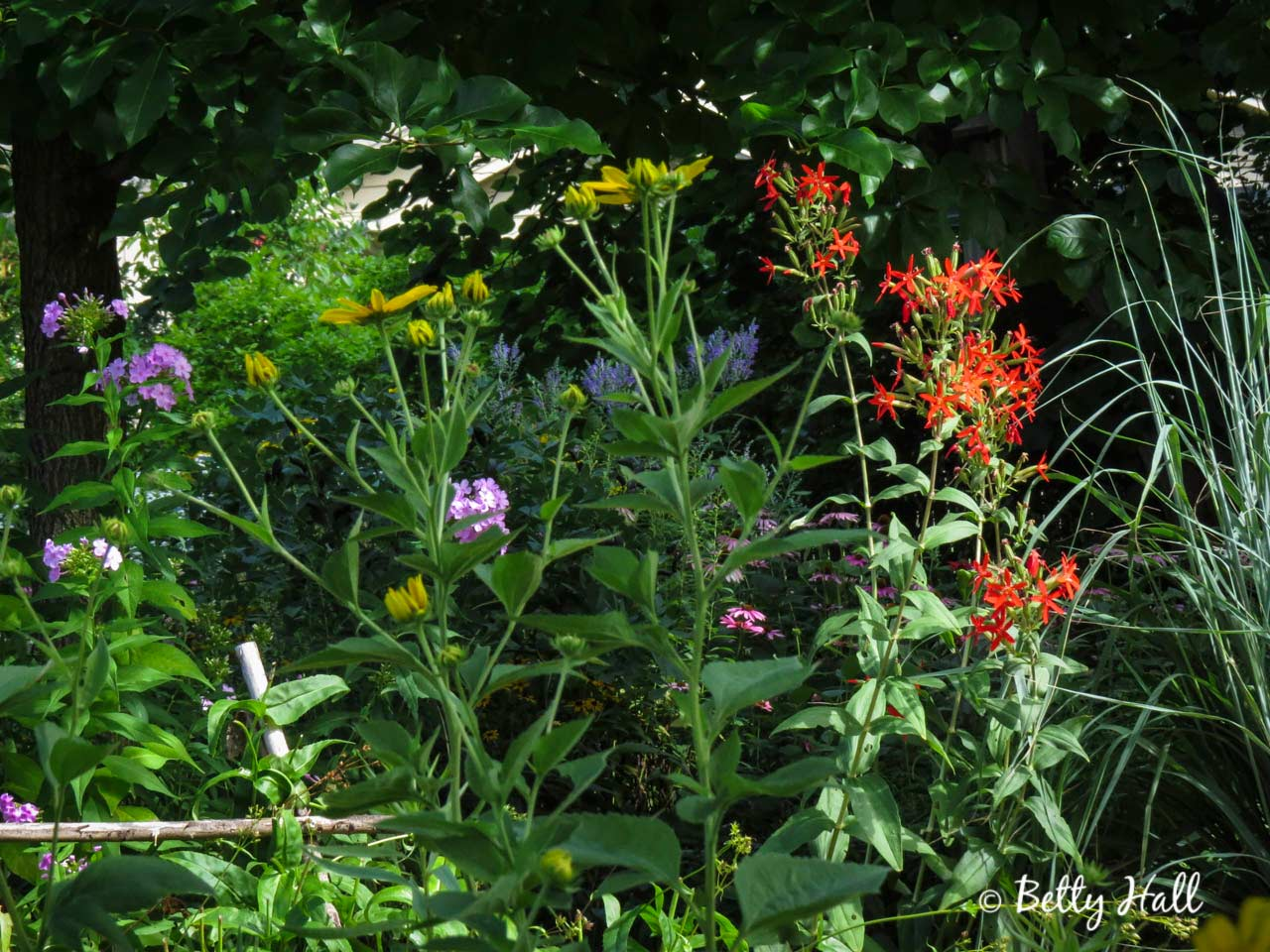 Royal Catchfly and Midsummer Blooms