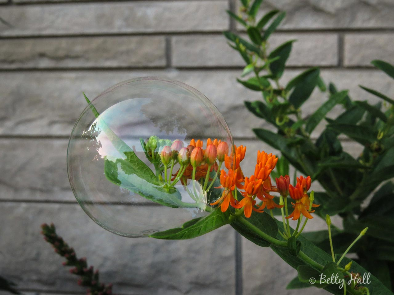 Bubble on butterfly milkweed