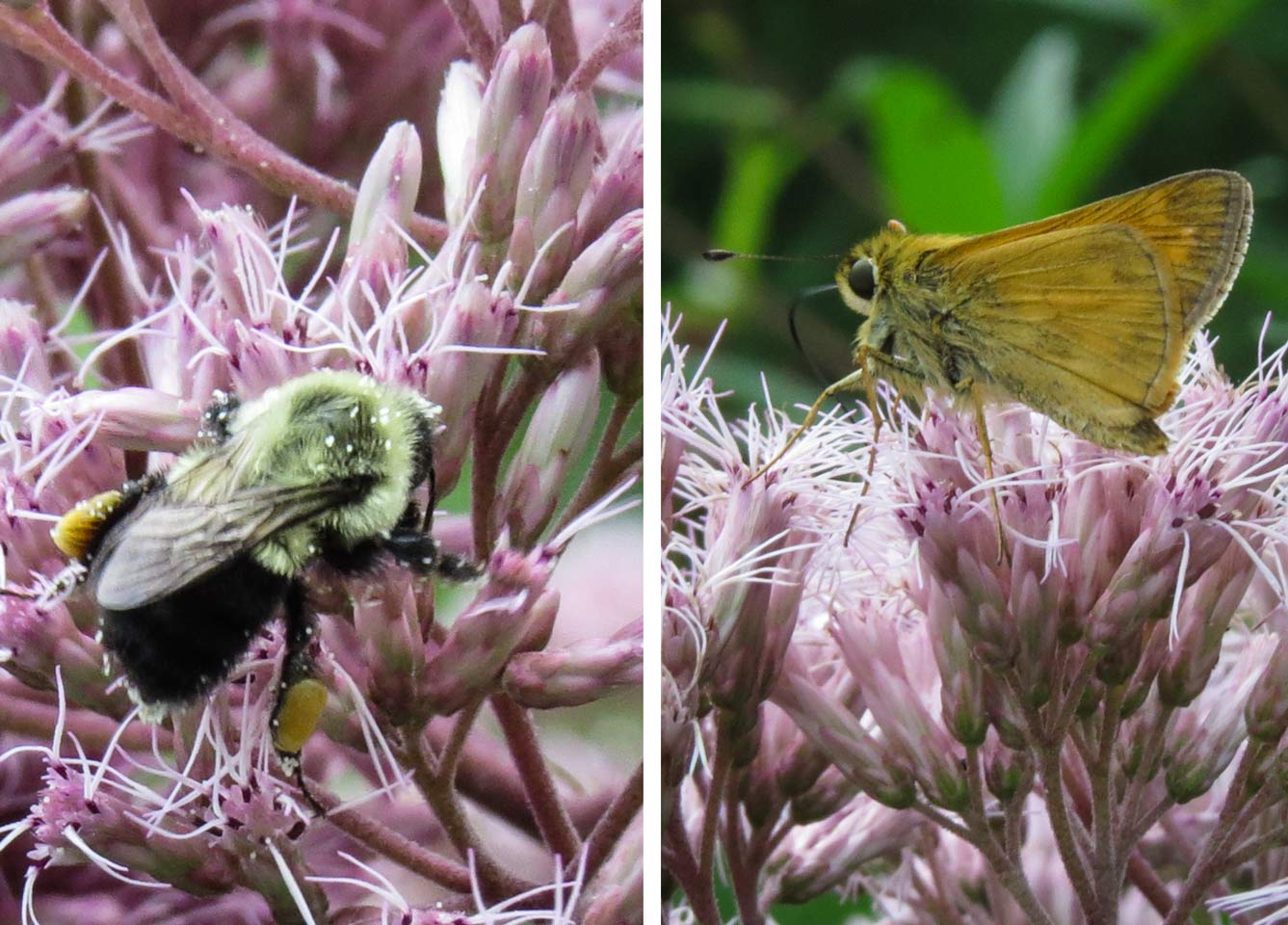 Bumble Bee and Skipper on Jo-pye weed