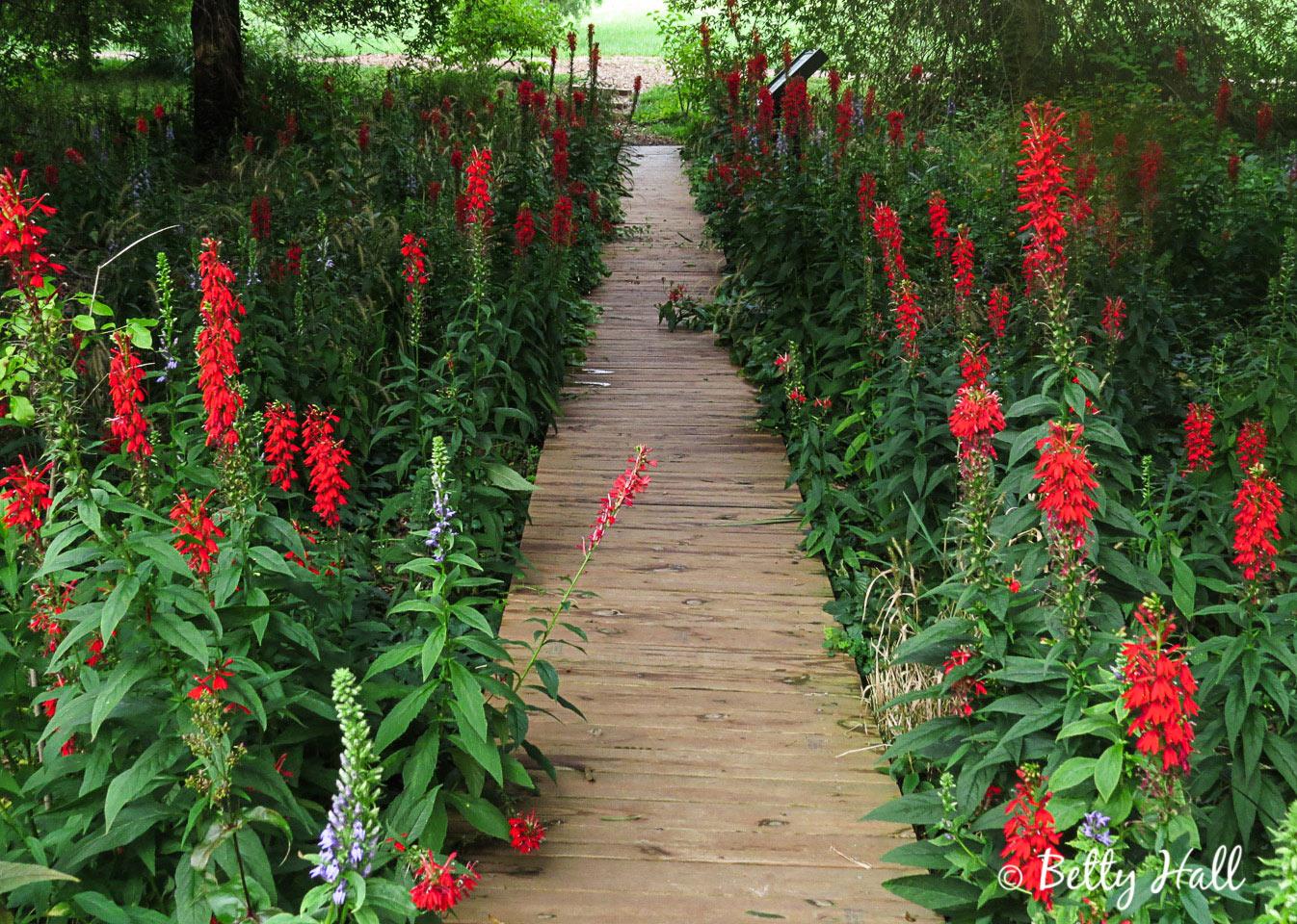 Cardinal Flower garden