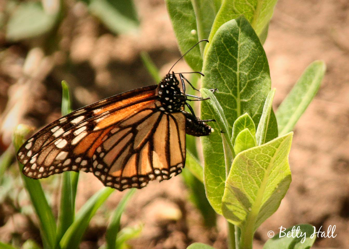 Monarch butterfly laying eggmonarch-butterfly-laying-egg