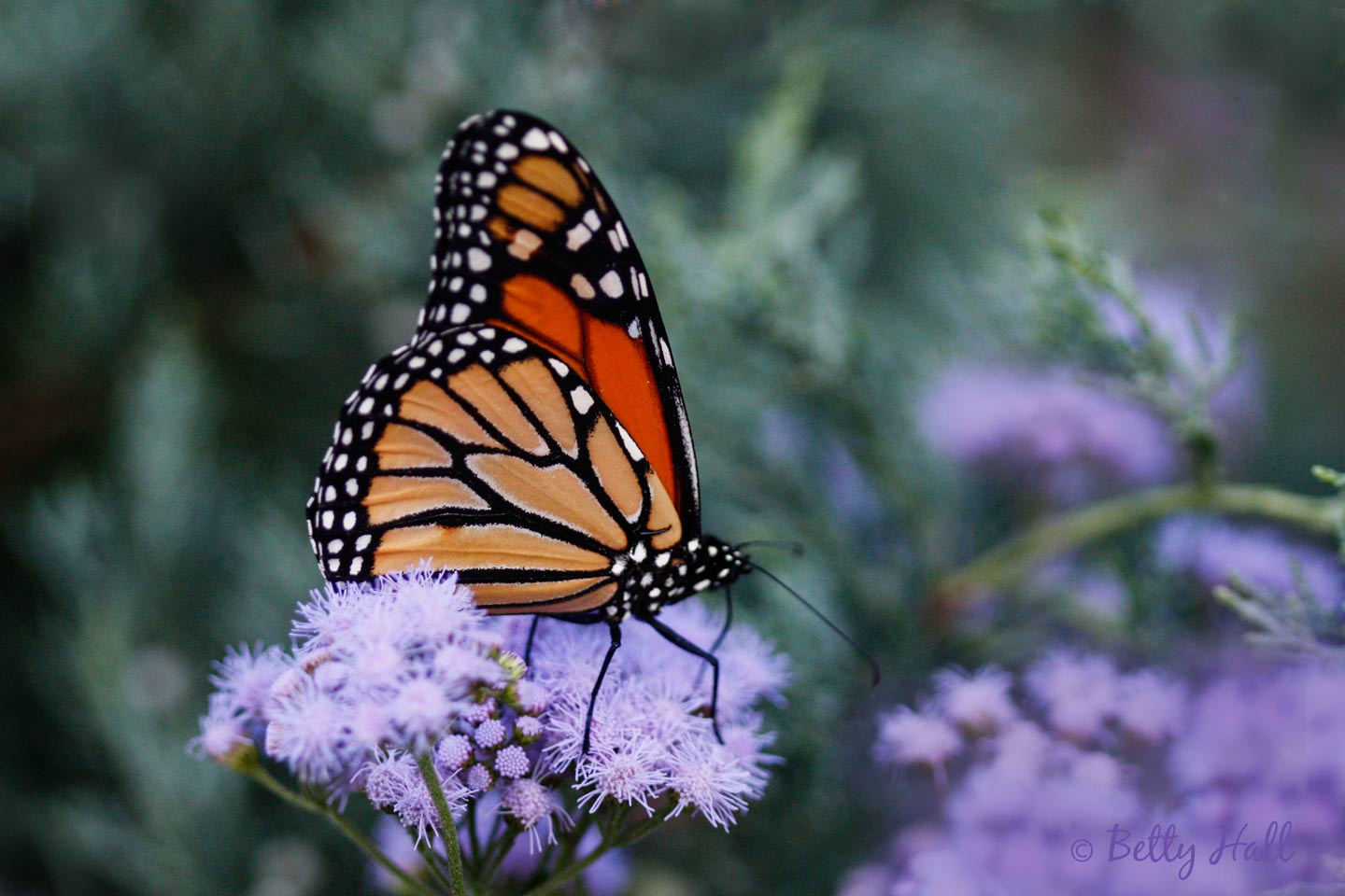 Monarch on Mistflower