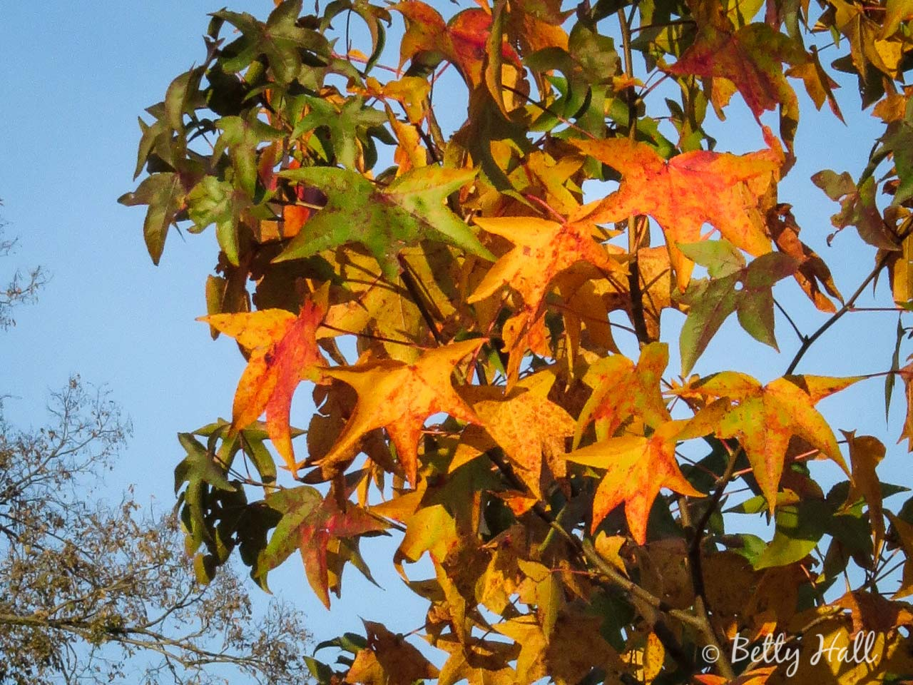 Gold sweet gum leaves